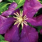 Viticella Etoile Violet